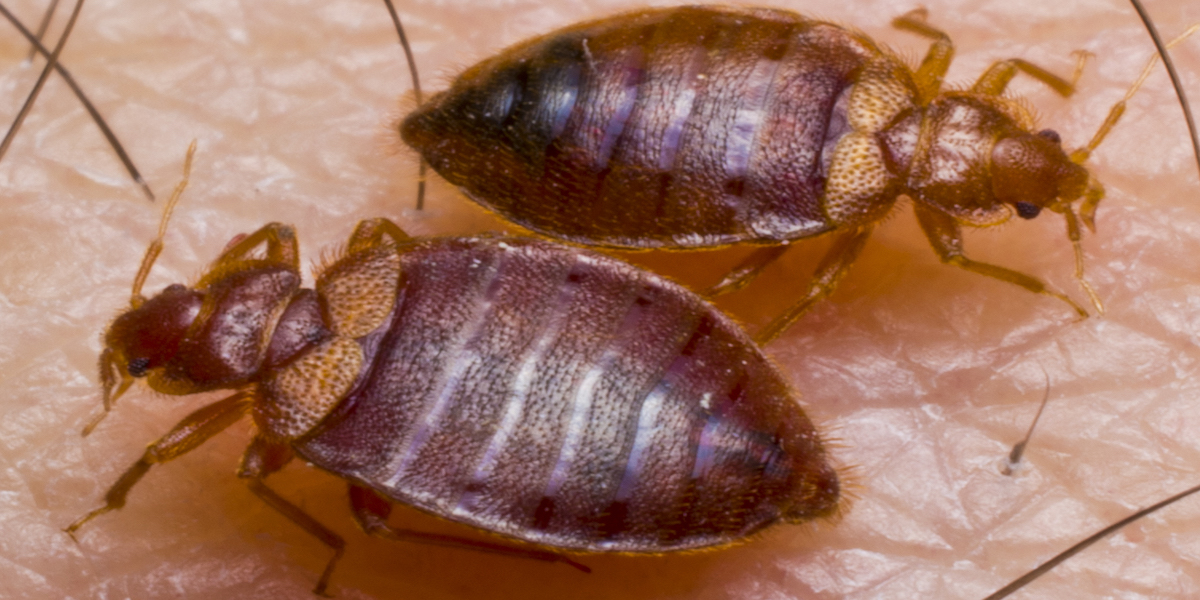 Bed Bug Removal Pasadena California